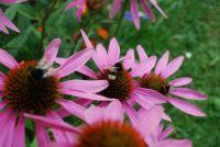 čmeláci / bumblebees