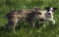 Piglet & Pup at Play (4)