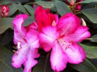 Unusual colored Rhodie