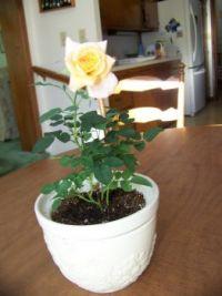 Miniature rose - December 2016