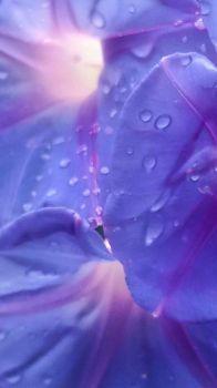 Rain Droplets on a Morning Glory