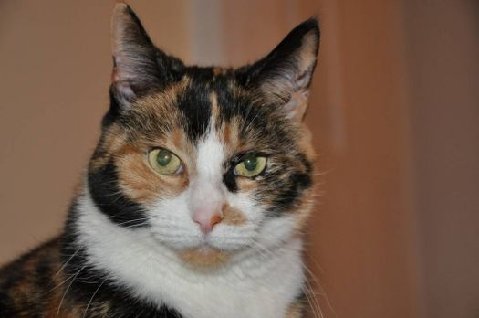 Disgruntled Calico