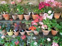 A part of my pelargoniums