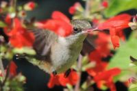 Hummer Feeding on Red Flowers