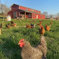 Big Red Barn (a house) and the free-range chickens.
