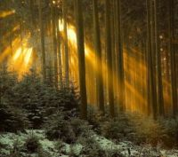 Golden Forest
