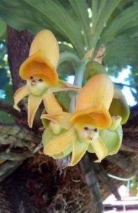 """Catasetum """"epiphytic Orchids"""