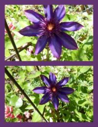 The 'Crazy' Purple Clematis  5-24-13