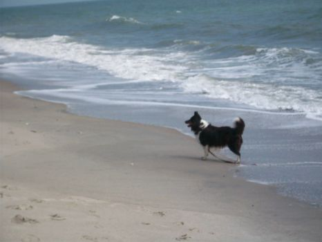 Sheltie @ the Sea