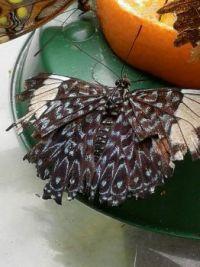 butterfly grandpa ;-)