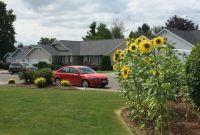 My neighbor's sunflowers