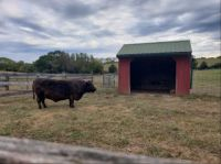 Cow and shed