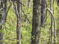 male Northern Cardinal hangin' out
