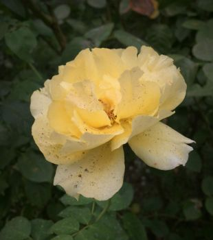 Yellow rose with ashes from fires in Oregon and California