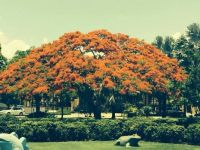 Have I published this Poinciana already?