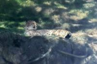 Cheetah doing what cats do best.  Portland, Oregon