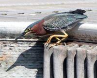 Green Heron, Lake Hodges, San Diego, California