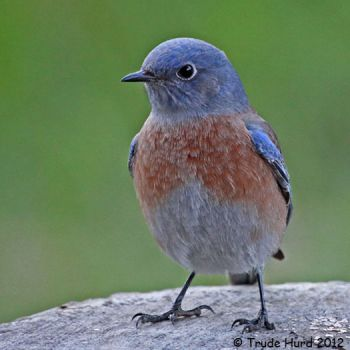 Western Bluebird in yard today