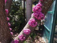 double flowered eastern rebud