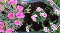 My Carnations