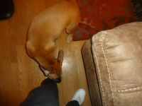 Gracie trying to eat my shoes