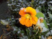 Snowy Nasturtium