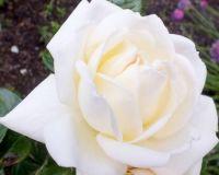 Rose BIGGLES