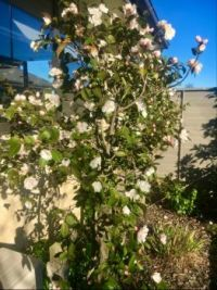Our winter camellias are going for it
