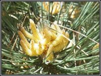 Zárodky borovicových šišek...  Germs of pine cones