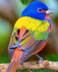 4  ~  Painted Bunting.