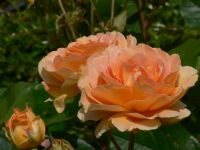 Rose 'Honey Perfume'