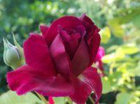 Rose in late July, Devon