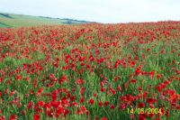 More poppies at Jevington