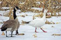 Snow Goose & Canada Geese