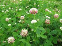 clover (Trifolium hybridum)