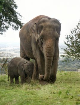 Elephant and Baby at Whipsnade Zoo, 2009