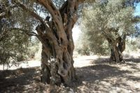 Old olive trees in Malta