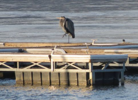 Great Blue Heron at Lake Lou Yaeger
