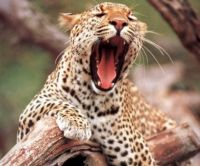 Leopard big yawn