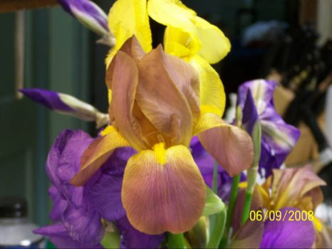 some of my iris-front one I call chocolate moose -it smells like cocoa