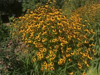 Black-Eyed Susans at Denver Botanic Gardens
