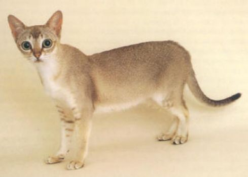 Smallest Cat Breed, the Singapura