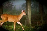 Karen's backyard deer