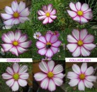 Sixth collage of my Cosmos/Cosmea