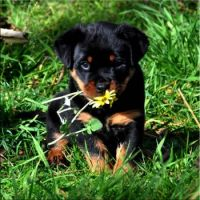 "Rottie Puppy-""Pippie""-A Daisy for Mum-(1)"