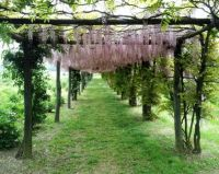 Wisteria pergola at the Centro Botanico Moutan near Vitorchiano