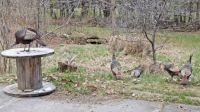 Turkey hen posse