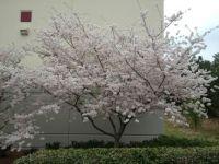 Dogwood in April