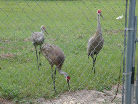 The Sandhill Cranes (parents & juvenile) with a friend - all looking for bugs at my back fence