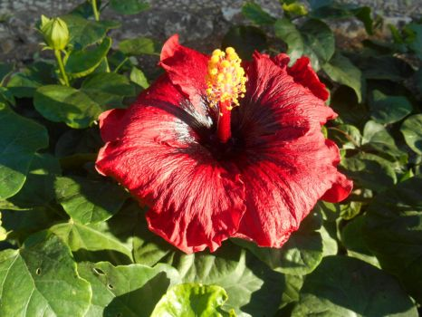 4 new Hibiscus no: 4